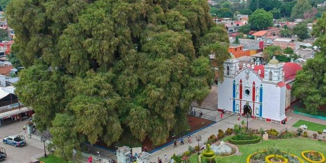صورة الشجرة الجميلة من tule، في أواكساكا. .و تعتبر الشجرة ذات أكبر قطر جذع في العالم و عمرها أكثر من 2,000 سنة..El hermoso Árbol del Tule, en Oaxaca. Es el árbol con el diámetro de tronco más grande del mundo y tiene una edad de más de 2,000 años.
