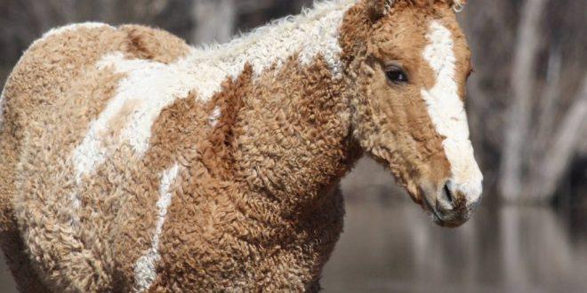 تعالوا نتعرف بالصور على #سلالة_ خيول_ البشكير ..وهي صغيرة الحجم .. عند الكتفين حوالي – 143-145 سم..وعادة الخيول الحرة من أرض البشكير ..