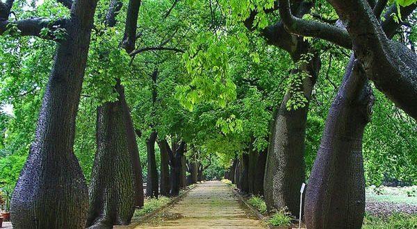 بالصور نقدم لكم ..قائمة بأوصاف #الأشجار_ المذهلة_ في العالم…من عالم الأشجار المذهلة لكوكبنا الأرض..