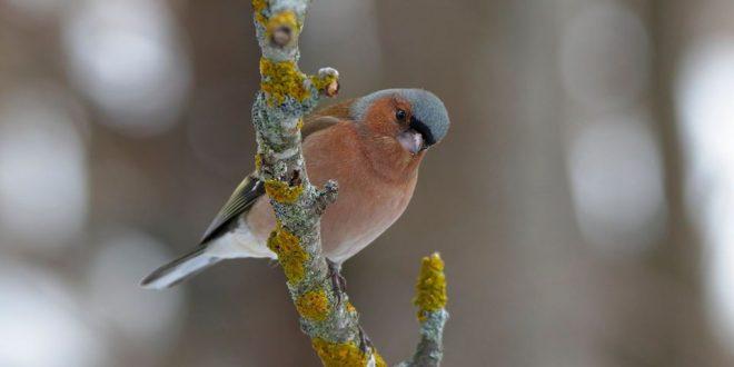ترصد لنا عدسة الفنان السويسري José Luis ..مجموعة صور للطيور والعصافير الملونة أثناء الثلج وهي تبحث عن البذور والديدان والثمار في فصل الشتاء البارد..